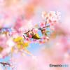 河津桜とメジロ 2
