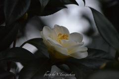 咲きたて椿