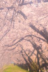土手の桜並木