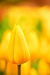 黄色いお花畑