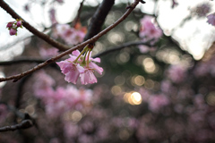 Sakura de décembre