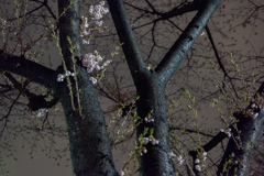Le début du Sakura
