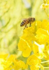 菜の花とハチさん