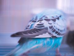 幸せの青い鳥*