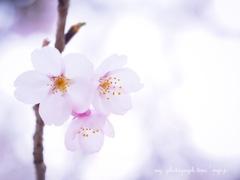 桜も終わり。