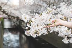 桜をもちあげて