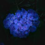 Purple_K