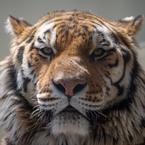 トラ猫とライオン猫