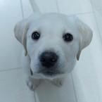 puppy walker